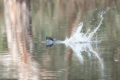 Musk Duck, Albury