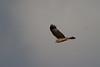 spottedharrier-2292