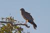 spottedharrier-4856