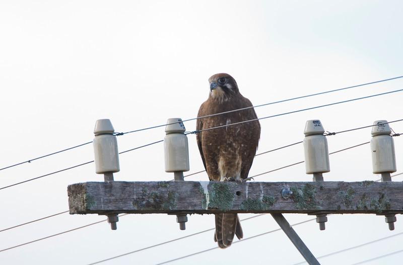 Brown Falcon, Goulburn River, NSW