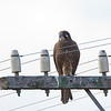 Brown Falcon, Goulburn River, NSW