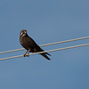 Brown Falcon, Berrigan, NSW