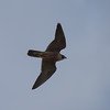 Peregrine Falcon, Gol Gol Swamp