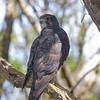 New Zealand Falcon, Enderby Island