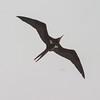 frigatebird-0192