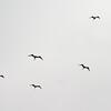 frigatebird-0147