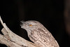 frogmouth-9498