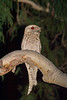 frogmouth-1587