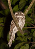 frogmouth-1184