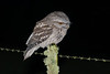 frogmouth-5767