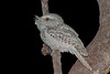 frogmouth-1194