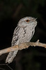 frogmouth-1666