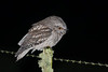 frogmouth-5768