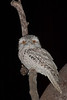 frogmouth-1204