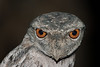 frogmouth-1672