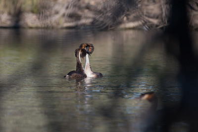 Great Crested Grebe, Balranald, NSW