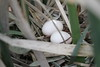 Little Bittern nest. Balranald, NSW