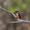 Azure Kingfisher, Saltwater Creek, Lakefield NP, QLD