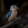 Blue-winged Kookaburra, Myall Creek, QLD