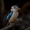 Blue-winged Kookaburra, Myall Creek, QLD