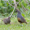 California Quail- Callipepla californica<br /> New Zealand