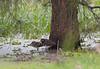 Australian Painted Snipe- Rostratula australis, Cedar Hill Drive, Minmi, NSW