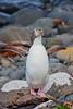 Yellow-eyed Penguin, Enderby Island, Subantarctic NZ
