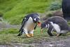 Gentoo Penguin, Macquarie Island,
