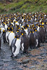 King Penguins moult lots of feathers. Macquarie Island.. For more King Penguin pics see the King Penguin gallery.