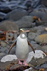 Yellow-eyed Penguin- Megadyptes antipodes. <br /> Enderby Island, Subantarctic New Zealand