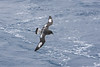 Cape Petrel, off Campbell Island, Subantarctic NZ