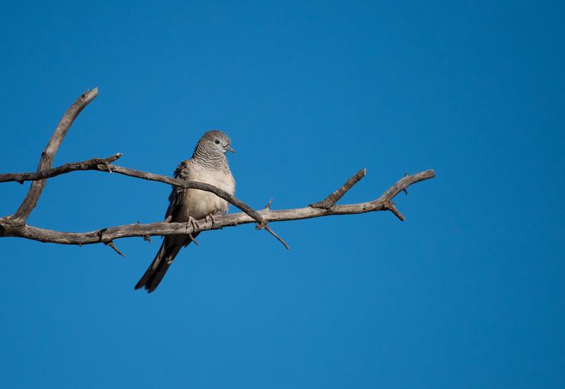 Peaceful Dove, Buronga
