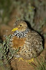 plains-wanderer_female-1383