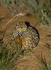 plains-wanderer_female-1387