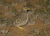 plains-wanderer_female-1372