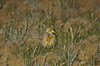 plains-wanderer_female-1363