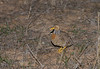 plains-wanderer_female-6720