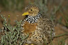 plains-wanderer_female-1381
