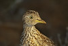 plains-wanderer_male_head-592