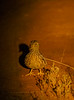 plains-wanderer_male_in spotlight-588