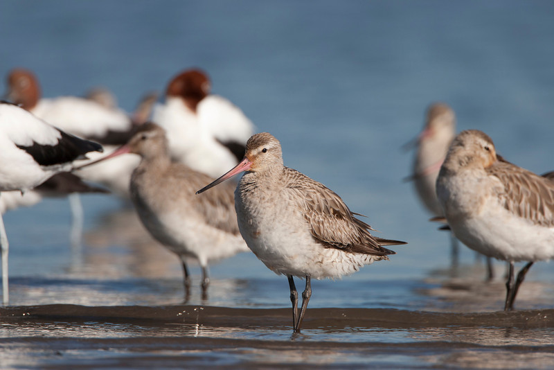Bar-tailed Godwit, Stockton Sandspit