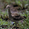 lcurlew-2