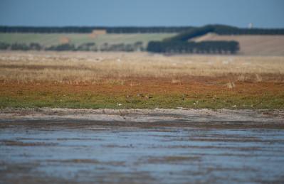 Buff-breasted Sandpiper, Lake Murdeduke, VIC