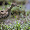lcurlew-4