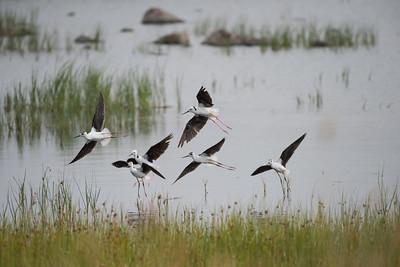 Black-winged Stilt, Lake Murdeduke, VIC
