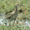 lcurlew-1