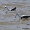 Banded Stilt, Salt Creek