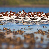 Red-necked Avocet, Stockton Sandspit
