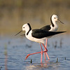 Black-winged Stilt, Pitt Town Lagoon
