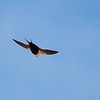 White-backed Swallow, Balranald